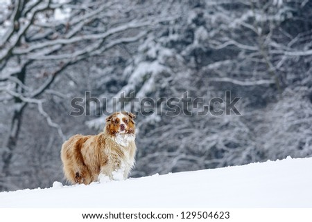 Australian Shepherd guard in winter time with snowy trees on background