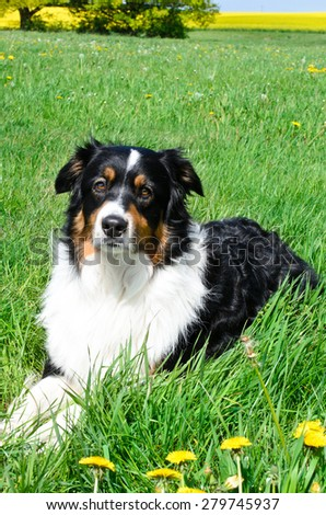 australian shepherd in the meadow