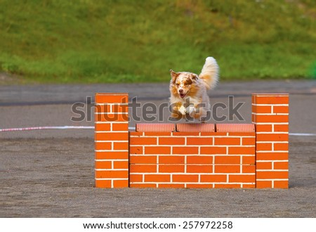 Australian Shepherd jumping over the hurdle in agility competition, an exiting dog sports event. - stock photo
