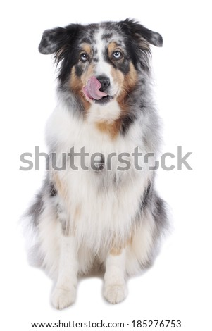 Australian shepherd licking his mouth