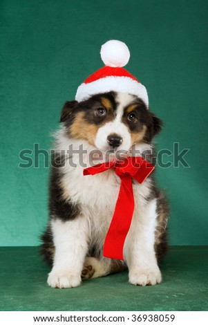 Australian Shepherd pup with santa hat and red bow on green background