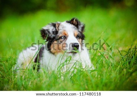 australian shepherd puppy - stock photo