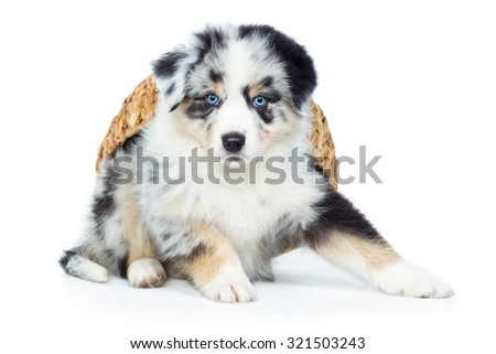 Australian Shepherd Puppy Dog With Basket