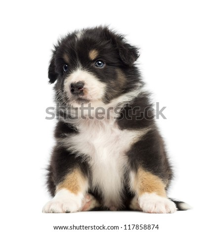 Australian Shepherd puppy, 1 months and 3 days old, sitting and