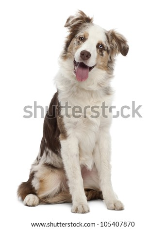 Australian Shepherd puppy, 6 months old, sitting against white background - stock photo