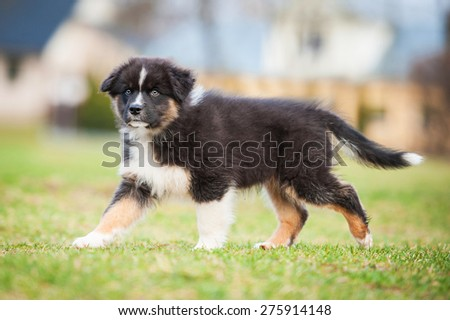 Australian shepherd puppy on the walk