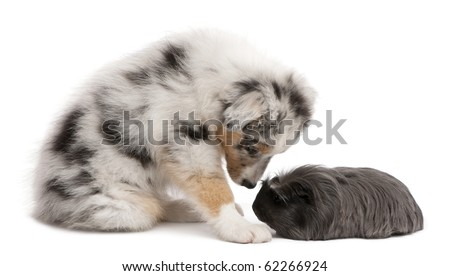 Australian shepherd puppy playing with Peruvian guinea pig, Cavia porcellus, sitting in front of white background