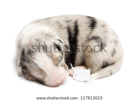 Australian Shepherd puppy sleeping with price tag, 11 days old against white background