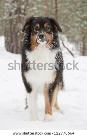 Australian Shepherd`s portrait over winter forest background