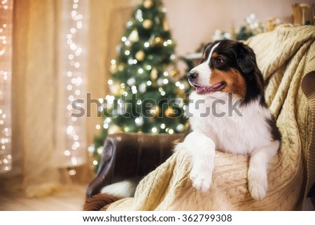 Australian Shepherd, studio portrait dog on a color background, Christmas and New Year - stock photo