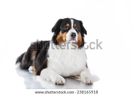 Australian Shepherd, studio portrait dog on a white background - stock photo