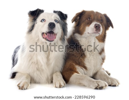 australian shepherds in front of white background