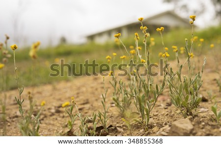 Australian Spring wildflowers landscape with yellow Buttons, Woollyheads or  Billy Buttons, daisy like flower plants  known as Chrysocephalum apiculatum or Helichrysum ramosissimum  - stock photo