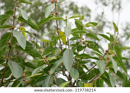 Australian Sweet Sandpaper Fig, Ficus Opposita, with fruit and foliage growing in bushland  - stock photo