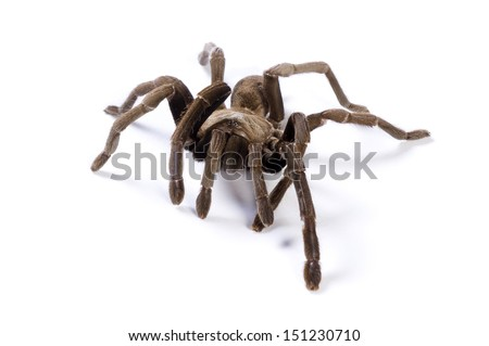 Australian Tarantula on white background. Soft shadow under spider.