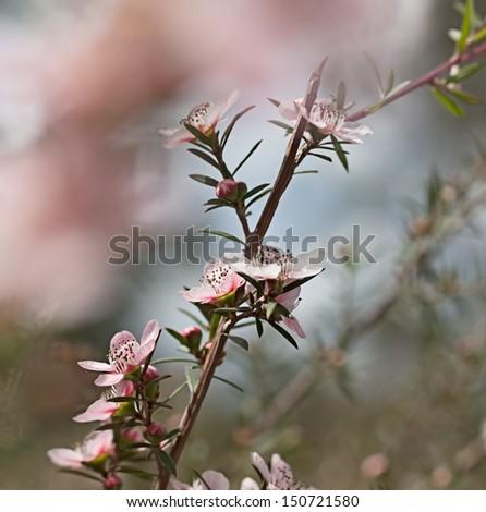 Australian tea tree wildflower Leptospernum Pink Cascade flower in spring - stock photo