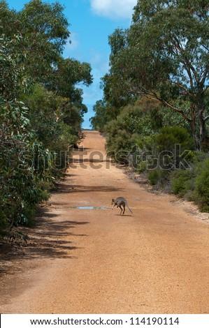 Australian Wallaby crossing - stock photo