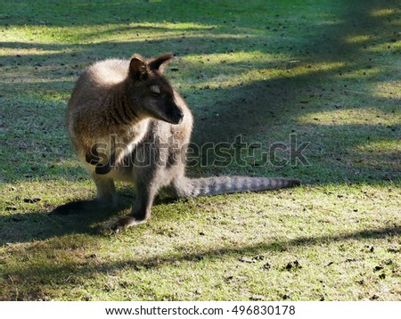 Australian wallaby sitting on green lawn in petting zoo