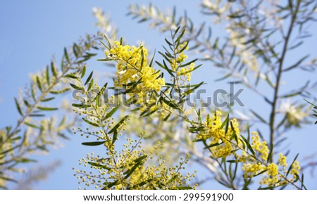 Australian wattle background, Winter and spring yellow wildflowers, Acacia fimbriata commonly known as the Fringed Wattle or Brisbane Golden Wattle  - stock photo