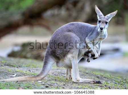 Australian western grey kangaroo with baby joey in pouch, new south wales, australia