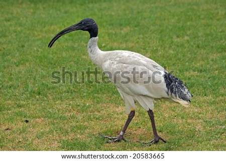 Australian White Ibis or Sacred Ibis (Threskiornis molucca) - stock photo
