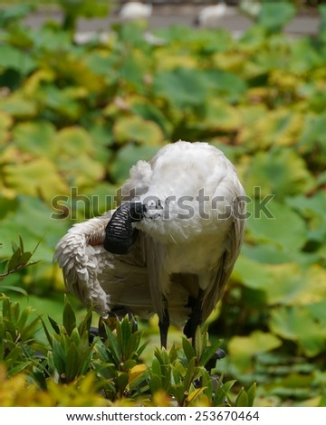 Australian White Ibis (Threskiornis moluccus) in a park in Sydney in Australia - stock photo