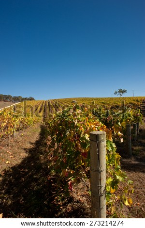 australian wine field in autumn, with gum tree - stock photo