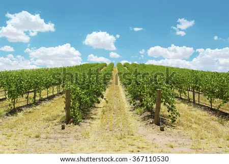 Australian wineries rows of grape vines taken on a bright and sunny day. - stock photo