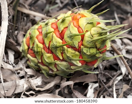 Australiana, female fruit cone of ancient plant, Australian cycad, Macrozamia miquelii, native flora of Australia,with orange fleshy seed pods, endemic plant to Queensland. - stock photo