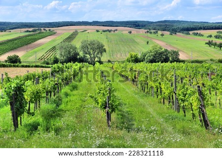 Austria agriculture - Burgenland wine growing region. Vineyard in summer. - stock photo