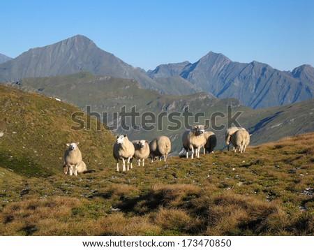 Austrian Alps, High Tauern National Park, sheep - stock photo