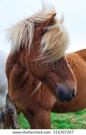Authentic Icelandic horse, beautiful friendly animal