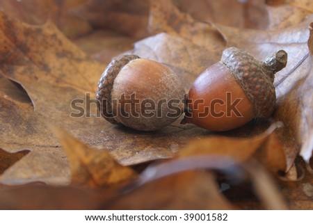 Autumn Acorns on Oak Leaves - stock photo