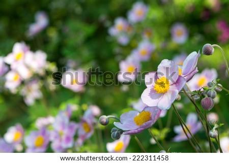 Autumn anemones - stock photo