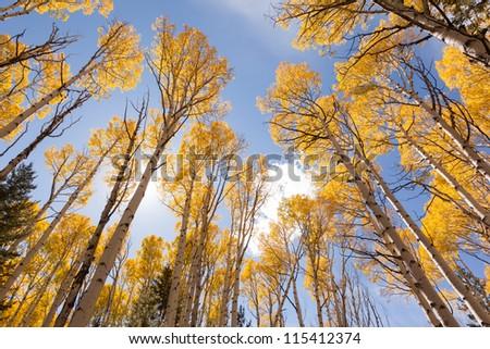 Autumn Aspen - stock photo