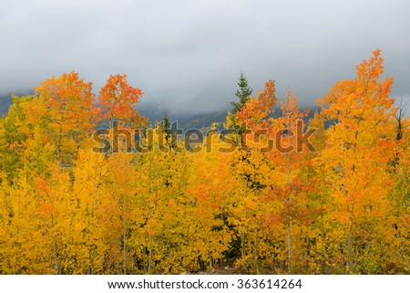 Autumn Aspen - Colorful Autumn Aspen trees with foggy mountains in the background. Colorado, USA. - stock photo