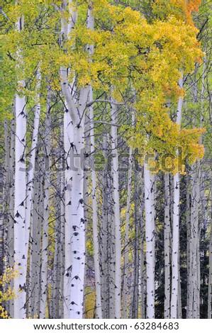 Autumn aspen grove in the Canadian Rockies - stock photo