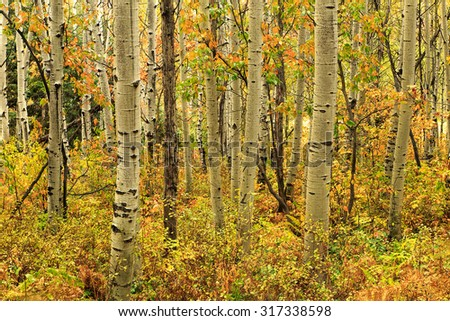 Autumn aspen leaves in a forest, Utah, USA.