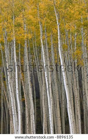 Autumn aspens (Populus tremuloides) near Vail, Colorado, USA - stock photo