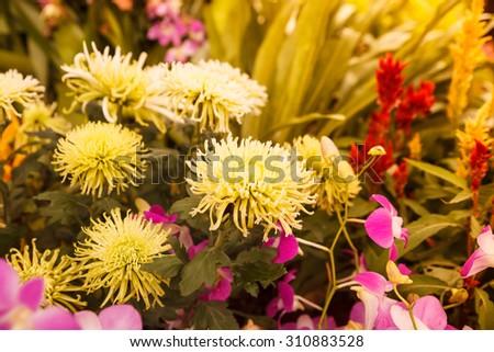 autumn aster flower vintage. - stock photo