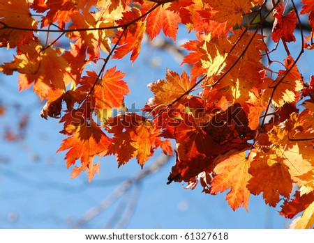 Autumn, autumnal maple leaves