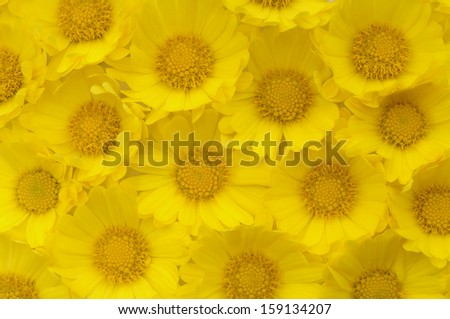 Autumn background consisting of yellow flowers