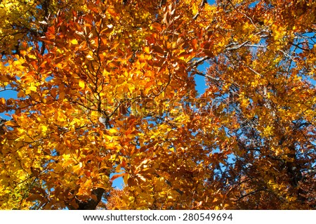 Autumn background. Golden beech leaves on blue sky. Bright and colorful  - stock photo