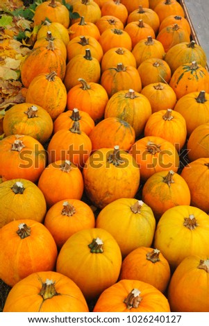Autumn background of yellow ripe pumpkin crop