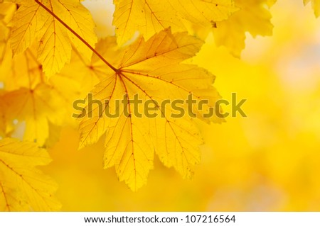 Autumn background with golden maple leaf, selective focus - stock photo