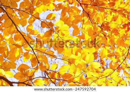 Autumn beech Fagus foliage yellow vibrant colors, bright lush leaves bunches in sunlight, warm color abstract in horizontal orientation, nobody. - stock photo