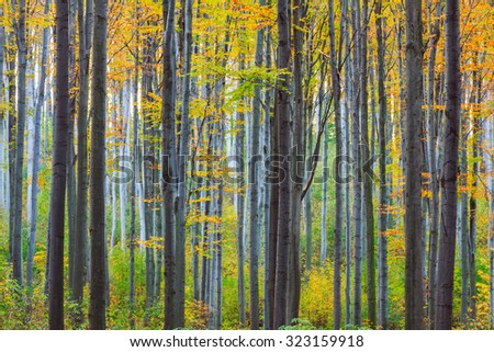 Autumn beech fall forest in Bukk-Hungary
