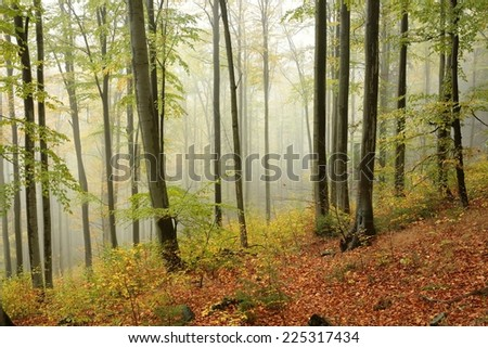 Autumn beech forest in the fog. - stock photo