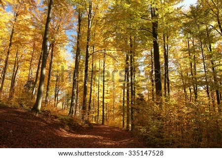 Autumn beech forest lit by the morning sun. - stock photo