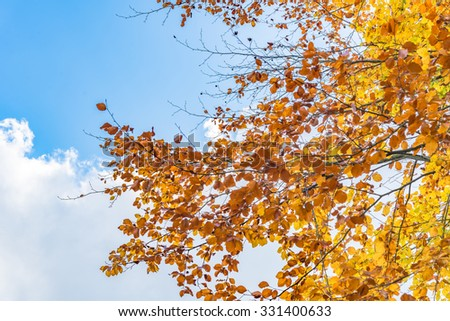 Autumn beech tree with brown, yellow and orange leaves. Fall season treetops against blue sky background